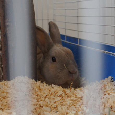 Domestic Rabbit in a Cage with Fresh Wood Shavings