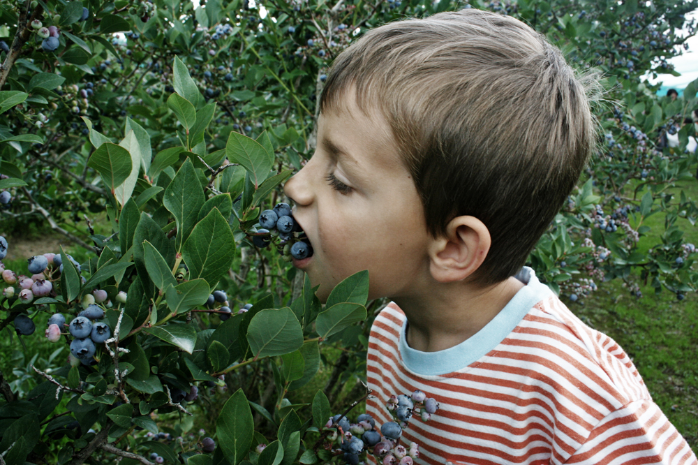 A young boy eating wild blueberries.